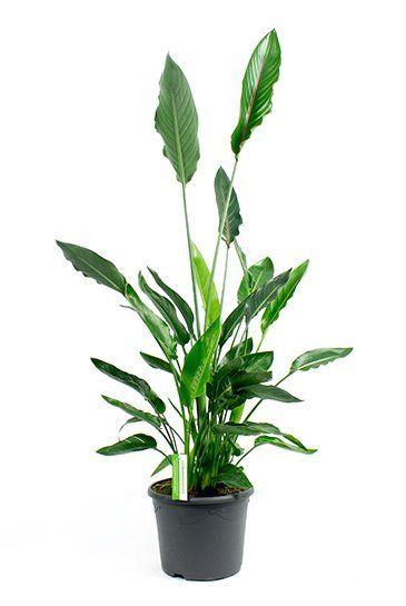 Gemeinsame Strelitzia reginae 90 cm - 123zimmerpflanzen @JM_88
