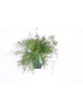 Asparagus Sprengeri
