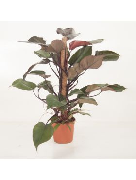 Philodendron Royal Queen