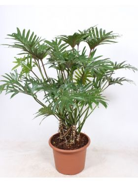 Philodendron Xantal