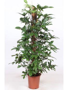 Zimmerpflanzen Geeignet Fur Im Schatten 123zimmerpflanzen