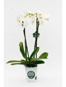 phalaenopsis Dover 4 tak