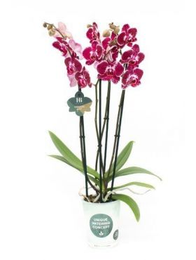 Phalaenopsis Asian Pearl - 4 tak