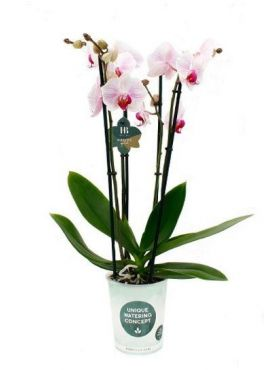 Phalaenopsis Denver - 4 tak