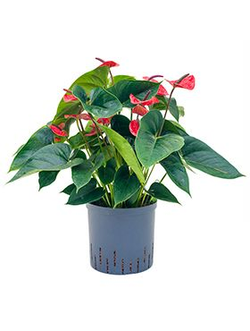 Anthurium dark red