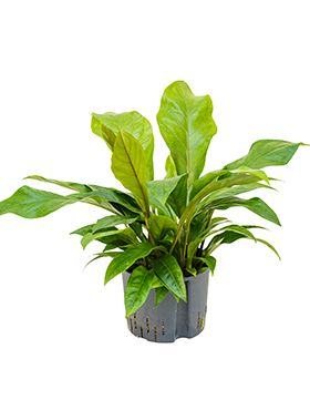 Anthurium jungle bush