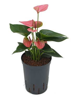 Anthurium sweet dream