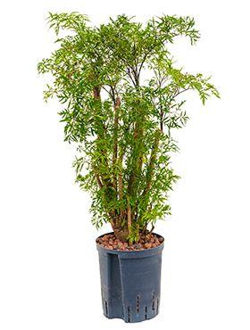 Hydrokultur 123zimmerpflanzen