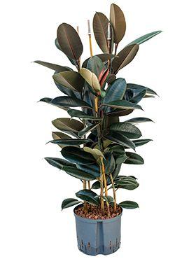 Ficus elastica abidjan