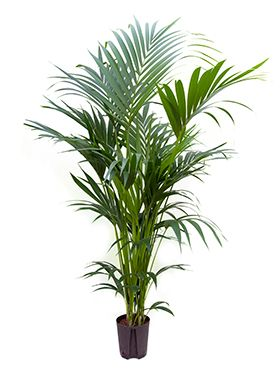 Kentia (howea) forsteriana