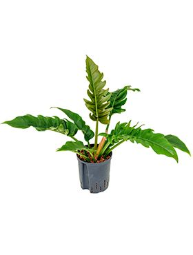 Philodendron narrow