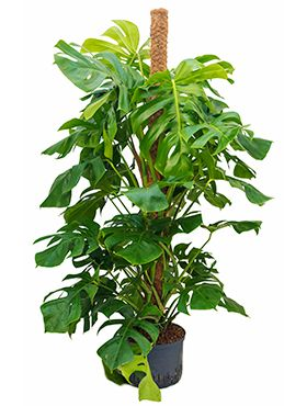 Philodendron pertusem (monstera)