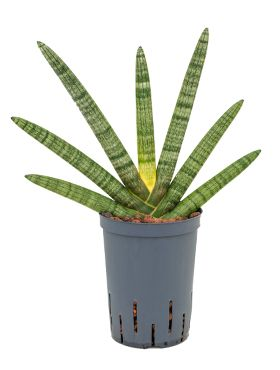 Sansevieria cylindrica boncel