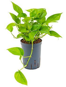 Scindapsus (epipremnum green