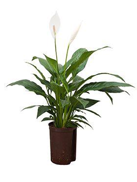 Spathiphyllum mont blanc