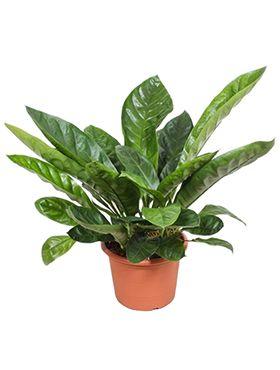 Anthurium jungle king