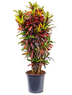 Croton (codiaeum) real batic