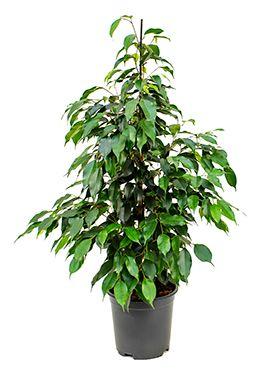 Ficus danielle