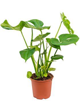 philodendron pertusem monstera zimmerpflanze von 90 cm kaufen 123zimmerpflanzen. Black Bedroom Furniture Sets. Home Design Ideas