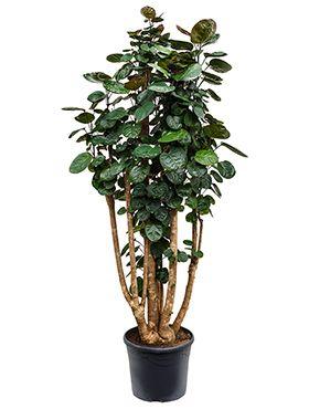 zimmerpflanzen geeignet f r in die volle sonne 123zimmerpflanzen. Black Bedroom Furniture Sets. Home Design Ideas