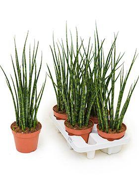 Sansevieria fernwood mikado 4/tray