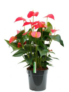 Anthurium and. maine