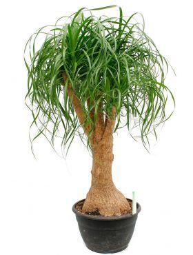 Pflegeleichte Und Robuste Zimmerpflanzen Kaufen 123zimmerpflanzen