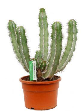 Euphorbia avasmontana