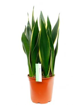 Sansevieria diamond flame