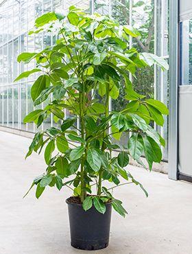 Schefflera amate (180-200)