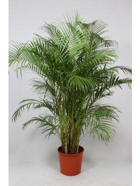 Areca (chrysalidoc.) lutescens