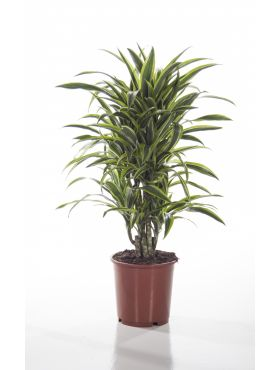 Dracaena fragrans (Deremensis Grp) Lemon Lime