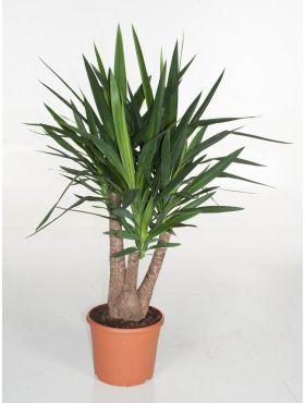 Yucca Palme Palmlilie Pflege 123zimmerpflanzen