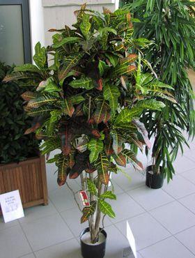 Croton exellent