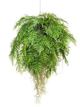 Fern w roots