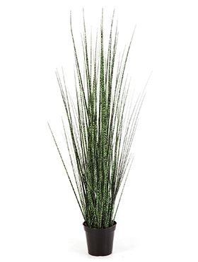 Zebra gracilis grass