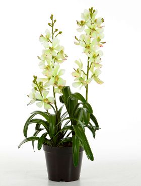 Vanda orchid plant