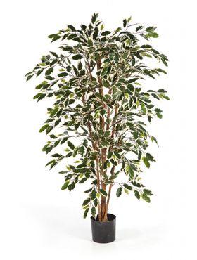 Ficus nitida var.