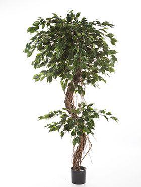 Ficus corkscrew exotica