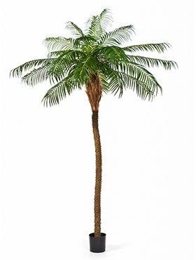 Phoenix palm