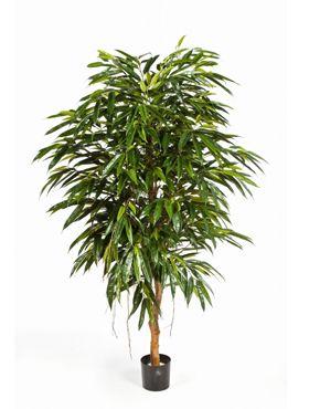 Longifolia royal tree