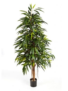 Longifolia royal natural