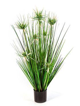 Onion star grass