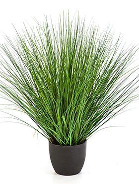 Fountain onion grass