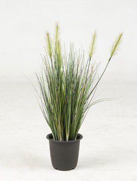 Gras Pflanz