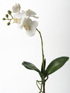 Phalaenopsis bush