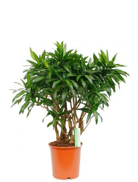 Dracaena Song of Jamaica