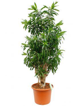 Grosse Zimmerpflanzen Kaufen 123zimmerpflanzen
