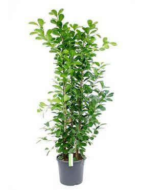 Ficus moclame
