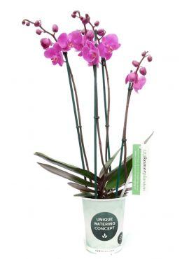 Phalaenopsis Evolution 4 tak